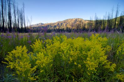 Wildflowers and burnt trees, Kettle River Provincial Park, near Westbridge, Boundary